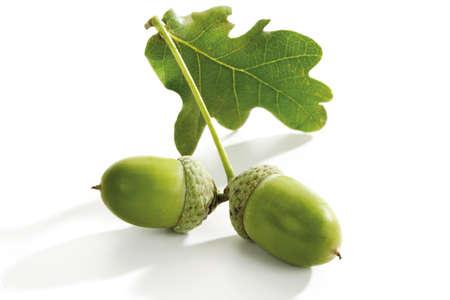quercus robur: Two acorns and oak leave, close-up