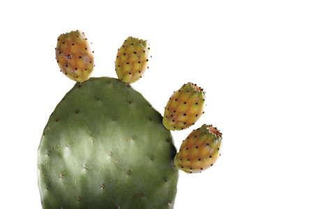 opuntia: Cactus opuntia ficus-indica, close-up