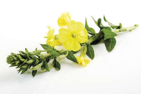 oenothera biennis: Evening primrose, close-up
