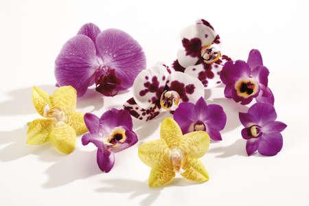 orchidaceae: Orchid blossoms (Orchidaceae), close-up