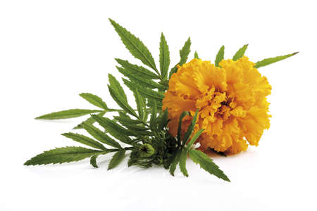 tagetes: Tagetes, close-up