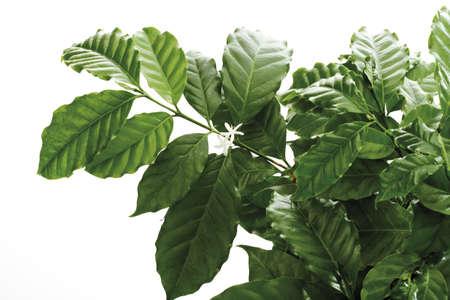 bush to grow up: Coffee tree (Coffea arabica), close-up