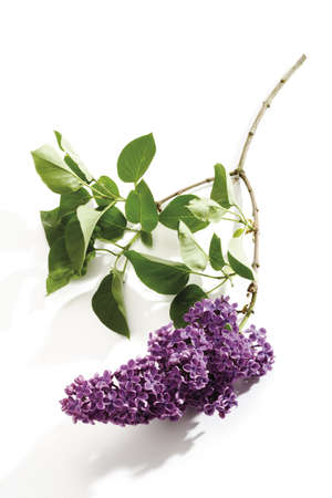 Lilac (Syringa vulgaris), close-up