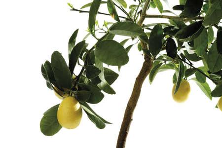 phytology: Limequat tree (Eustis Limequat), close-up LANG_EVOIMAGES