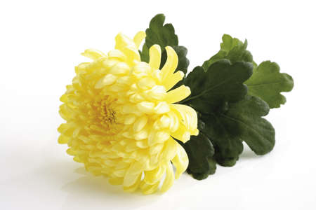 Yellow chrysanthemum (Chrysanthemum indicum), close-up LANG_EVOIMAGES