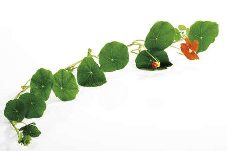 phytology: Leaves of nasturtium (Tropaeolum majus)