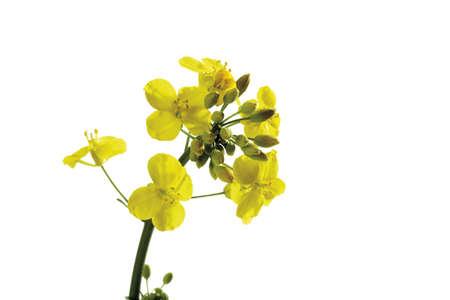 interiour shots: Rape bloom, (Brassica napus), close-up LANG_EVOIMAGES