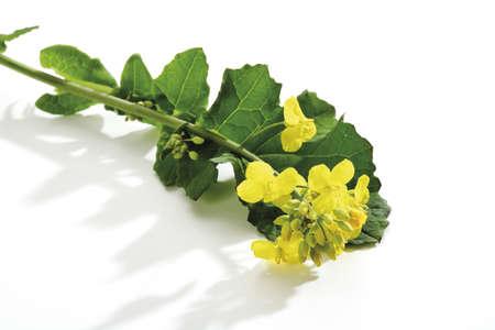 napus: Rape bloom, (Brassica napus), close-up LANG_EVOIMAGES