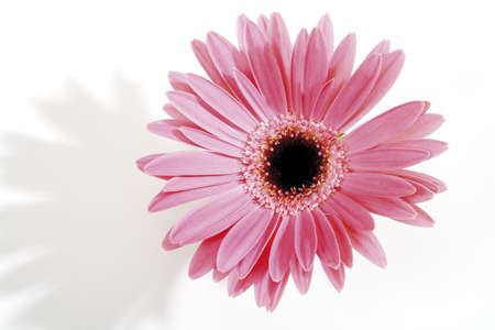 interiour shots: Pink Gerbera, close-up