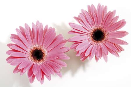 interiour shots: Pink Gerberas, close-up