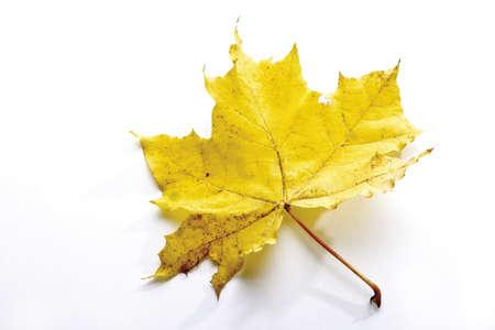 Autumn colored maple leaf Stock Photo - 23675438