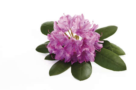 interiour shots: Rhododendron blossoms (Rhododendron), close-up