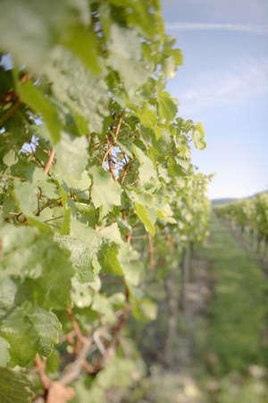 juxtaposing: Germany, vineyards
