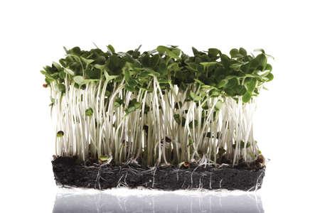 broccoli sprouts: Broccoli sprouts