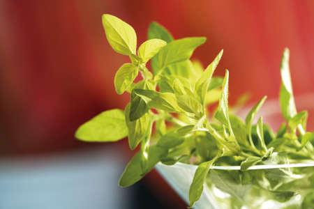 vulgare: Wild marjoram, Gold Oregano, Oreganum vulgare