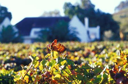 herrenhaus: Devon Valley, Sekt, Bl�tter vor der Manor House, Stellenbosch, S�dafrika Herbst LANG_EVOIMAGES
