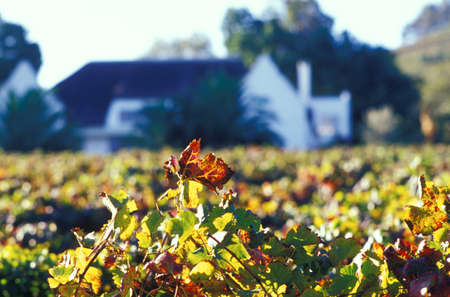 rsa: Devon Valley, Sparkling Wine, autumn leaves in front of Manor House, Stellenbosch, South Africa LANG_EVOIMAGES