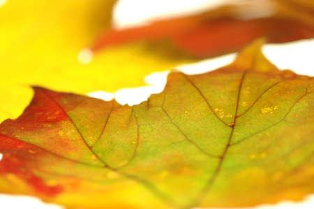gracefully: maple leave LANG_EVOIMAGES