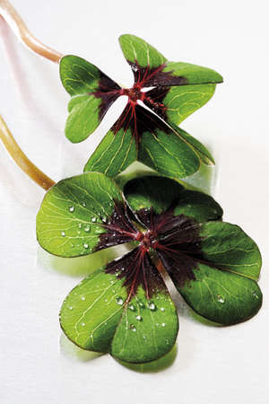 fourleafed: Two four-leafed clover, close-up LANG_EVOIMAGES