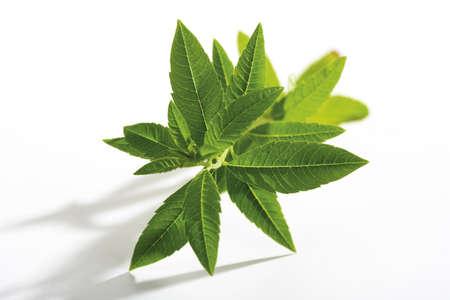 foodstill: Lemon verbena, Lippia citriodora