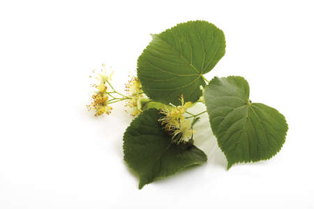 limetree: Lime blossoms and leaves, close-up LANG_EVOIMAGES