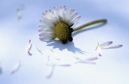 studio b: Plucked petals of a daisy flower
