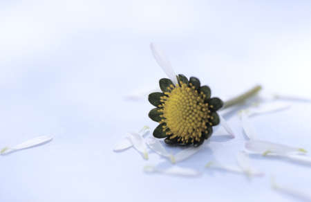 perplexing: Plucked petals of a daisy flower