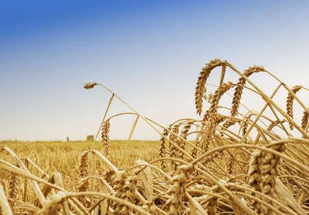 est: Wheat spikes, Est Frisia, Germany