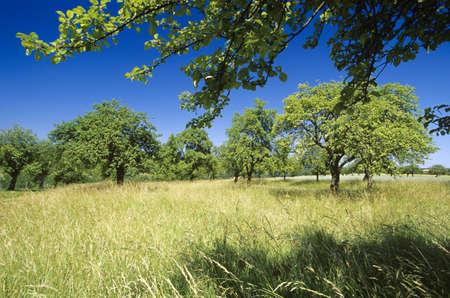arbres fruitier: Les arbres fruitiers sur la prairie