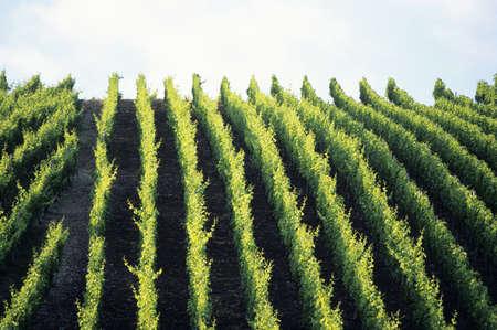 juxtaposing: Vineyard, elevated view