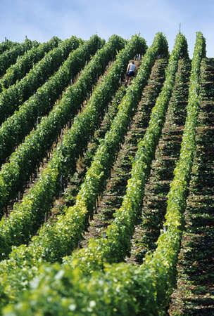 juxtaposing: Man working in vinyard
