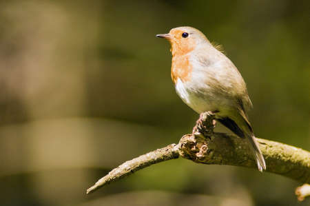 rubecula: Robin perched on branch (Erithacus rubecula)