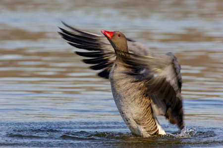 exerting: Grey goose flapping wings in lake, close-up LANG_EVOIMAGES