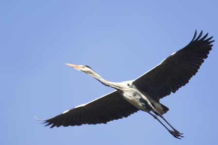 gray herons: Grey heron, flying