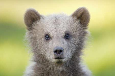 European Brown bear cub (Ursus arctos), close-up
