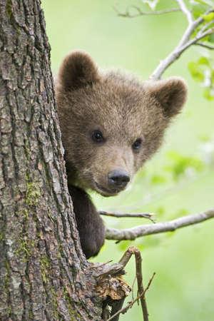 ourson: Europ�enne Brown ourson dans l'arbre (Ursus arctos), close-up LANG_EVOIMAGES