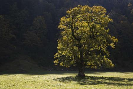 field maple: Austria, Tirol, Karwendel, Field maple tree LANG_EVOIMAGES