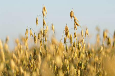 haver veld: