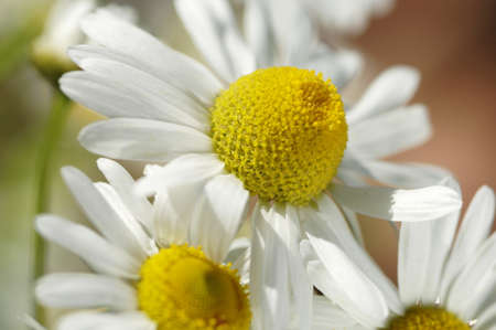 chamomilla: Chamomile, Matricaria chamomilla, close-up LANG_EVOIMAGES