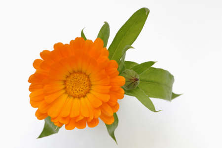 birdeye: Marigold (Calendula officinalis), close-up, overhead view