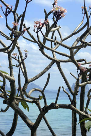 koś: Thailand, Ko Hai Island, Blossoming Tree LANG_EVOIMAGES