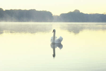 co action: Swan in lake, Adenauer Weiher, Cologne, Germany LANG_EVOIMAGES
