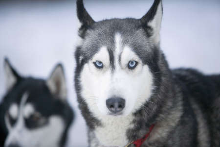 huskies: Two Siberian huskies in snow