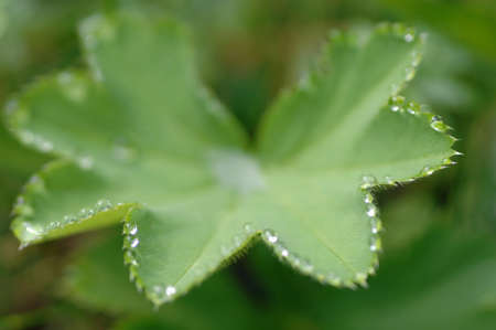 alchemilla: Water droplets on Ladys mantle (Alchemilla vulgaris) leaf, close-up