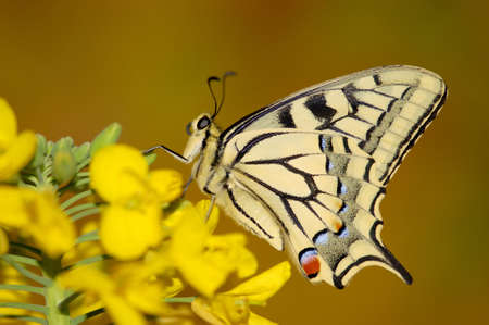 contrasts: Swallowtail butterfly sitting on flower LANG_EVOIMAGES
