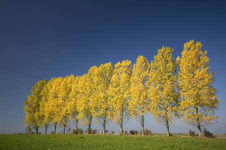bl: Germany, Bavaria, Row of aspen trees (Populus tremula) LANG_EVOIMAGES