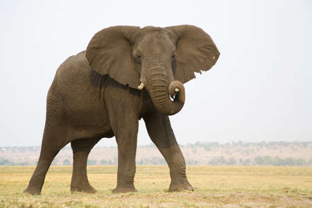 chobe: Africa, Botswana, Chobe National Park, Elefant
