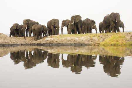 chobe: Africa, Botswana, Chobe National Park, Elefants at Chobe river