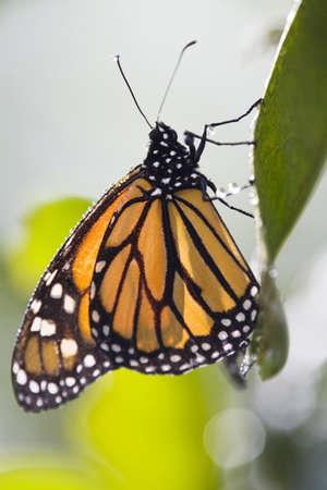 danaus: Monarch Butterfly (Danaus plexippus) on leaf, close-up