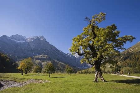 field maple: Austria, Tirol, Karwendel, Field maple trees